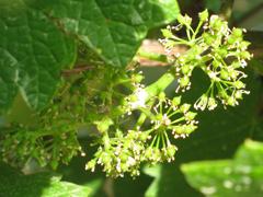 IMG_6828 Titchfield Flowered