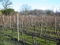 Ridgeview Vines