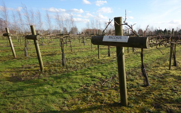 Shawsgate Vineyard in Suffolk