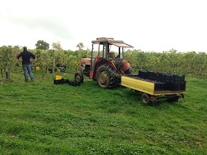 Loading the grapes to take to the press