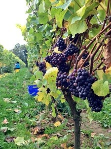 Pinot Noir ready for picking