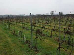 Vines dormant in the rain.
