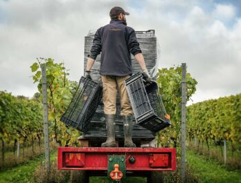 Harvesting at Hattingley Valley Hampshire Vineyard