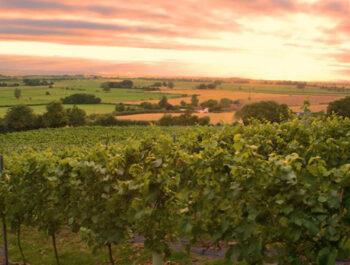 Higher Plot vineyard