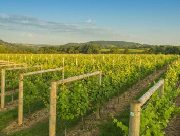Lyme Bay English Vineyard and Winery on Wine Cellar Door