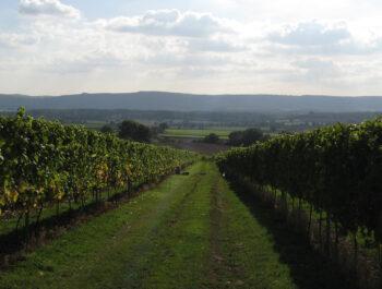 Upperton Vineyard