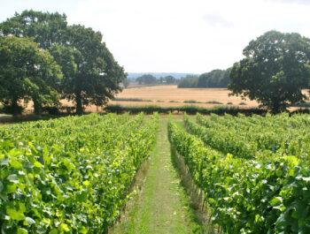Woodchurch Vineyard