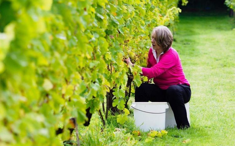 Join in the harvest with Wine Cellar Door