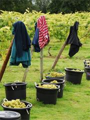 Harvest Time at Oatley Vineyard
