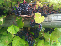 2013-10-10 14.06 Highdown Grapes ready for Picking