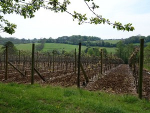 Vines in the Chiltern landscape
