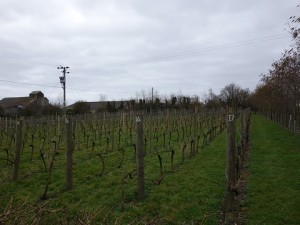 Pinot Noir Vines at Wareside Wines