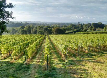 Beacon Down Vineyard