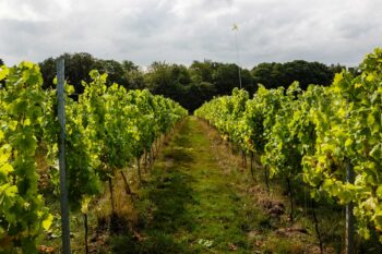 Forty Hall Community Vineyard