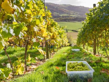 Gwinllan Conwy Welsh Vineyard