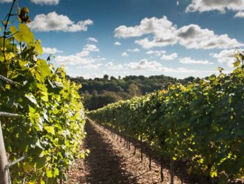 Hambledon Vineyard in Hampshire on Wine Cellar Door