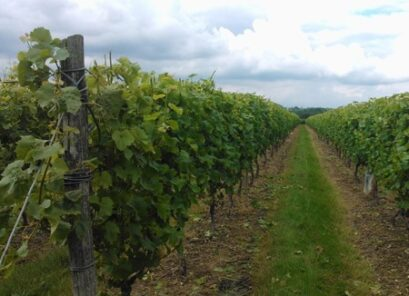 Sandhurst Vineyard