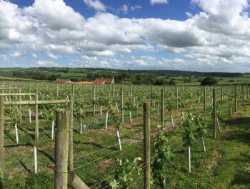 Ryedale vineyards in Yorkshire