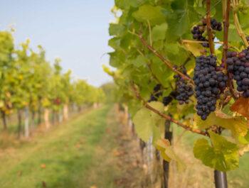 Tuffon Hall vineyard