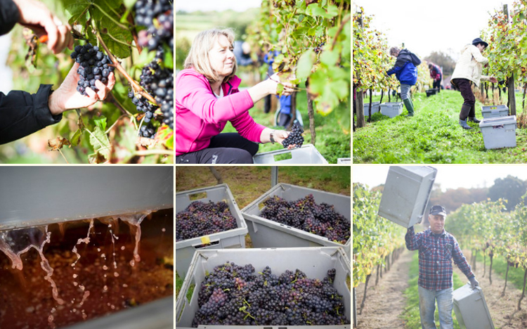 Harvest Experience at Bluebell Vineyard – SOLD OUT!